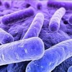 Rhodobacter capsulatus, une bactérie pourpre bien terrestre