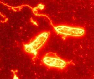 Image en fausses couleurs de Tindallia californiensis vue au microscope électronique