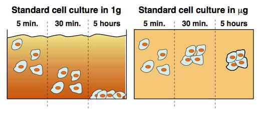 Les cellules en croissance restent suspendues en microgravité au lieu de s\'aplatir au fond de leur contenant, une différence d'avec les cultures terrestres qui pourrait donner le signal à l'expression différenciée des gènes.